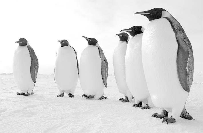 Les oiseaux - Pingouin a dessiner ...